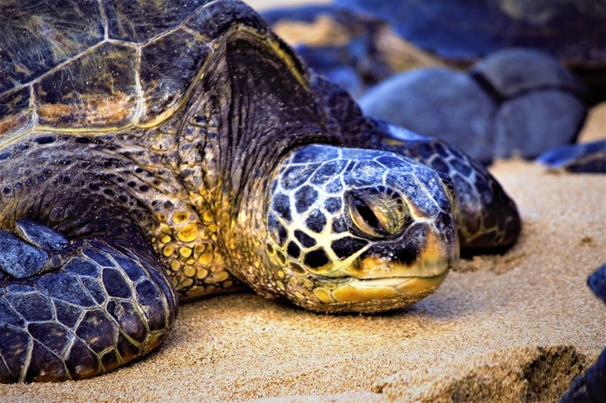 One of the many green sea turtles resting after a long day in the ocean#VacationLife via @Vistana