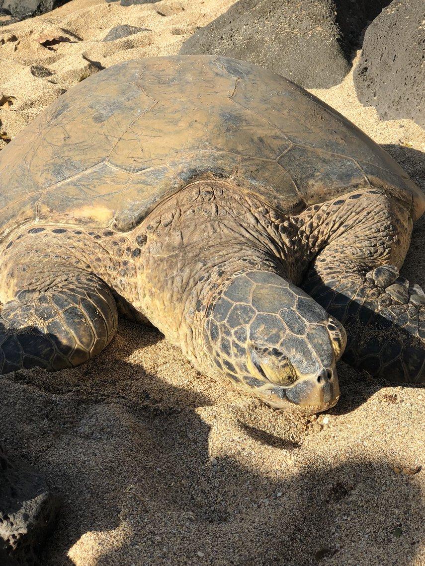 Sea Turtle Kaanapali Beach September 2018#VacationLife via @Vistana